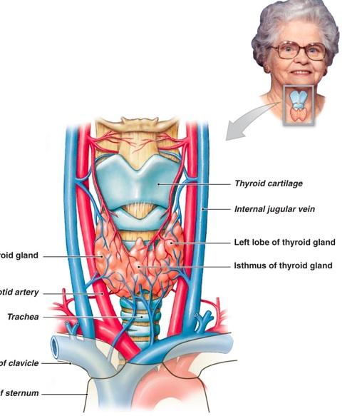 Thyroid Gland Alaska Health Fair